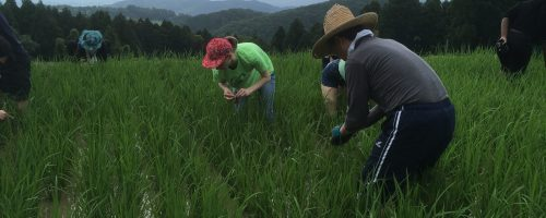Weeding in a rice field